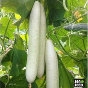 Il cetriolo Fantasmino sviluppato da Seno Seed