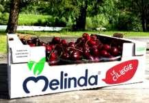 Le ciliegie prodotte dal Consorzio Melinda si annunciano di grande qualità