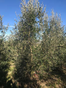 La varietà di olivo Frantoio Millennio