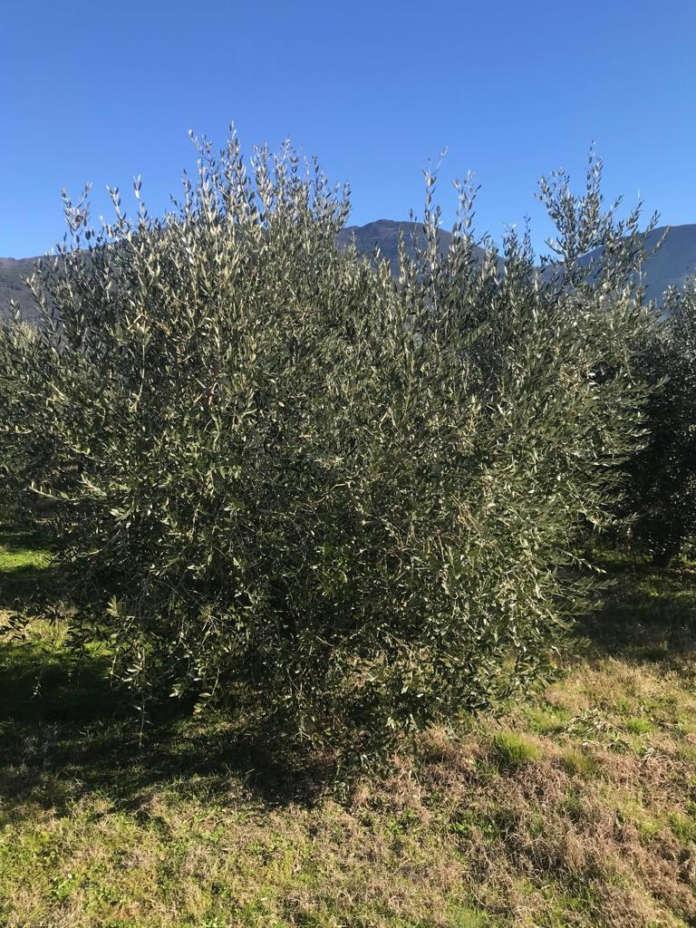 La cultivar Leccino Millennio ha dimostrato anche capacità di resistenza alla Xylella, che ha colpito il Salento