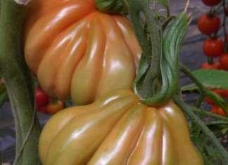 La varietà Pomodoro Cuor di Sole della linea Esquisito di Seno Seed: resiste alla peronospora