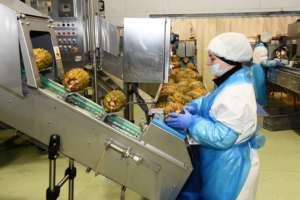 Fresco Senso, lavorazione dell'ananas nello stabilimento