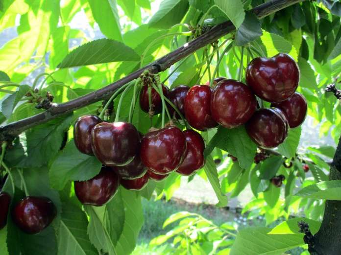 Royal Helen, originaria della California, è una varietà tardiva di ciliegia. Ha gusto dolce e aromatico ed è croccante