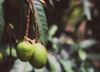 mango produzione