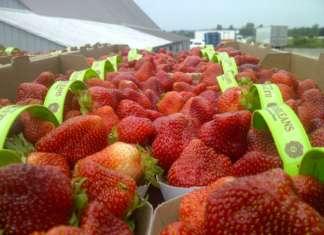 L'International Strawberry Symposium, giunto all'undicesima edizione, coinvolgerà tutti gli attori della filiera