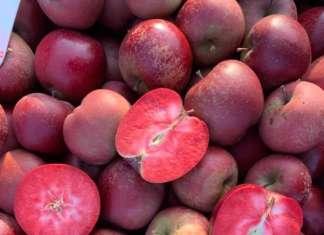 Red Moon è l'unica mela a polpa rossa, ricca di antociani