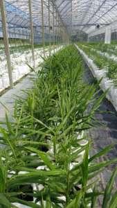 Coltivazioni di zenzero italiano in serra