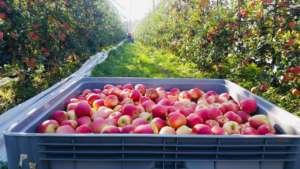 La produzione 2019 della mela Ambrosia è stata leggermente superiore a quella dell'anno precedente