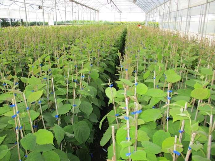 Geoplant Vivai fa crescere la pianta del kiwi in serra in ambiente protetto. Il frutto non viene esposto agli eventi atmosferici, quali acqua, grandine o vento