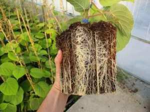 Geoplant Vivai utilizza tecniche di agricoltura 4.0 e studia anche il substrato del kiwi Boerica