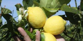 Con il limoneto sperimentale in Val Trebbia, il più alto d'Europa, Polenghi valorizza la produzione del territorio piacentino