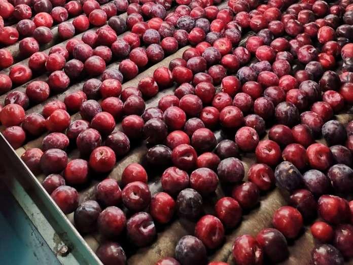 Le susine Angeleno sono una varietà tardiva: si trovano sul mercato da metà settembre a fine dicembre