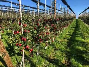 Coltivazioni della mela Xeleven Swing presso il Lago di Costanza