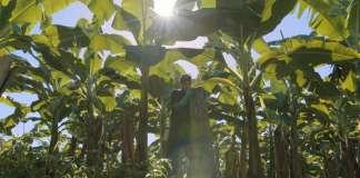 Una piantagione di banane. Chiquita cura particolarmente i rapporti con le comunità locali che sostiene con salari superiori a quelli di mercato