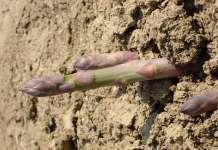 Geoplant Vivai amplia l'offerta con l'asparago richiesto dal mercato europeo, e da quello italiano