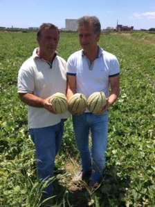 L'azienda Fratelli Rispoli conta di produrre 100 mila tonnellate di melone SOLGEM RZ , sviluppato da Rijk Zwaan