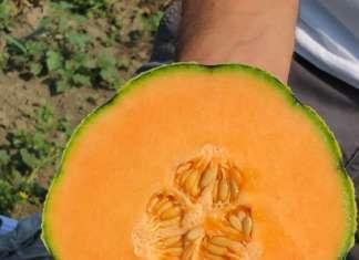 Il melone Solgem RZ è una varietà retata molto rustica, doce e con lunga shelf-life