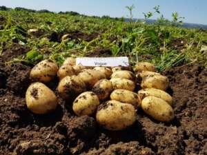 Romagnoli, patate novelle siciliane, varietà Vogue