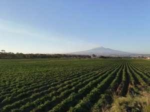Coltivazione di patate Romagnoli in Sicilia