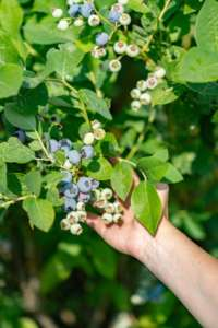Iniziata per Sant'Orsola la raccolta del mirtillo in Sicilia