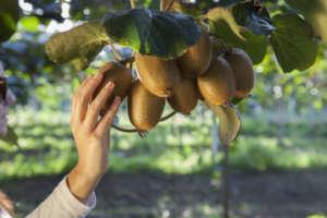 Kiwi garantiti Biorfarm