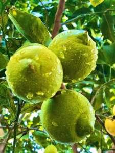 Limone Verdello Oranfrizer, made in Sicilia