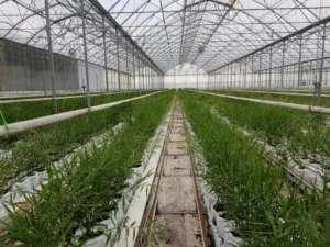 coltivazione di zenzero in serra