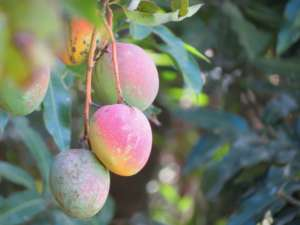 Mango garantito Biorfarm
