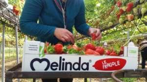 Melinda produce 80 tonnellate di fragole l'anno