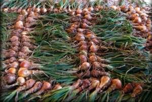 Cipolle prodotte da Galbusera Bianca
