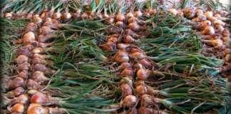 Le cipolle sono ricche di quercetina, un flavonoide, potente antinfiammatorio