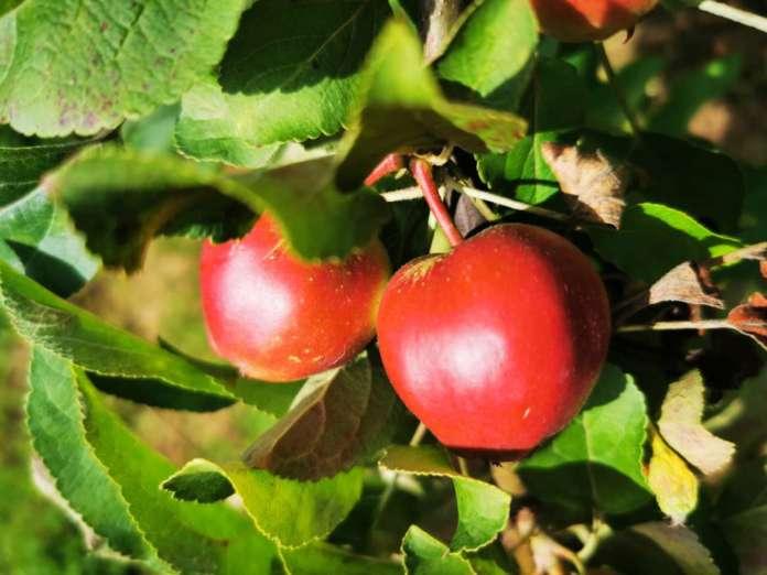 Galbusera Bianca produce 120 varietà di mele, di cui molte sono antiche cultivar