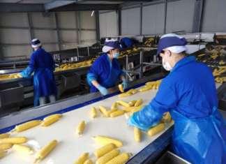 Conserve italia produce annualmente 55 milioni, tra scatole e vasetti, di mais dolce, in diversi formati