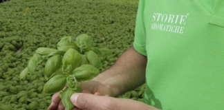 Il basilico è il prodotto di punta di Storie Aromatiche, azienda del Napoletano