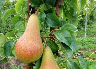 La nuova varietà di pera Crea 194, Geoplant Vivai