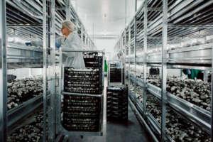 La coltura di funghi si svolge in serre