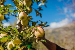 Partita la stagione commerciale delle mele di VIP