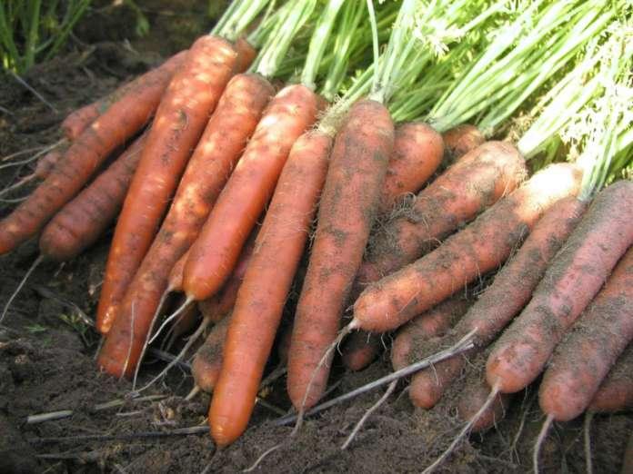La nuova varietà di carota Allyance_F1 proposta da BASF Vegetable Seeds