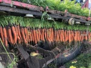 La nuova varietà di carota Allyance F1 risponde alle esigenze dei produttori