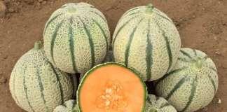 LSL Gibson RZ F1, nuova varietà di melone retato italiano lanciato da Rijk Zwaan Italia