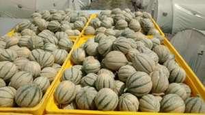 La varierà di melone si adatta bene in Sicilia ma anche nel Nord Italia, sopratutto per la coltivazione in serra