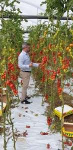 Pomodori prodotti da Io Coltivo Italia