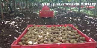 Raccolta kiwi Zespri made in Italy