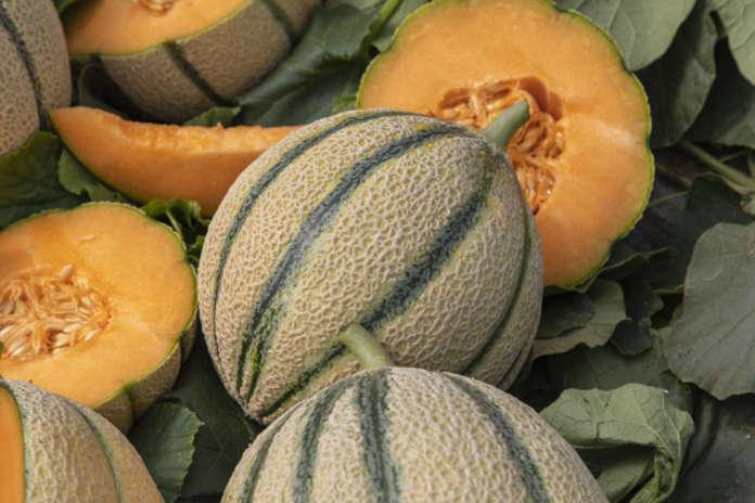 La varietà di melone reato Bernini F1