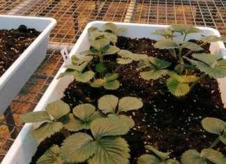Excalibur, test su patogeni di piante di fragole e pomodori in serra