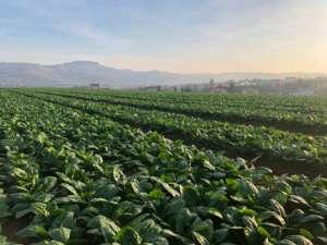 Le coltivazioni sono quasi esclusivamente in campo aperto