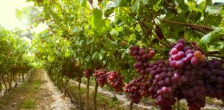 La produzione di uva da tavola seedless è uno dei business di Unifrutti Distribution in Italia