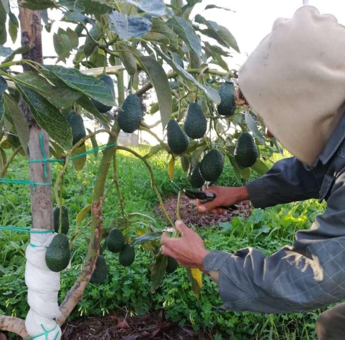 Raccolta di avocado siciliano McGarlet