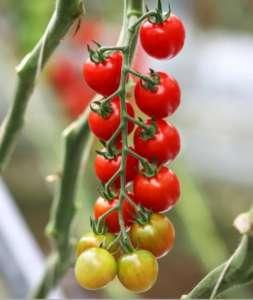 Pomodori Totam Seeds, Cherry Variety