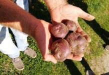 La patata pigmentata Verrayes
